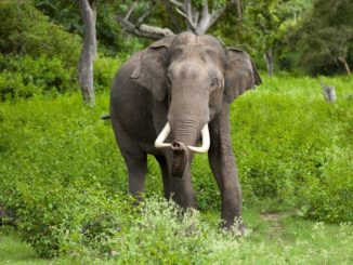 wild elephant in khao yai